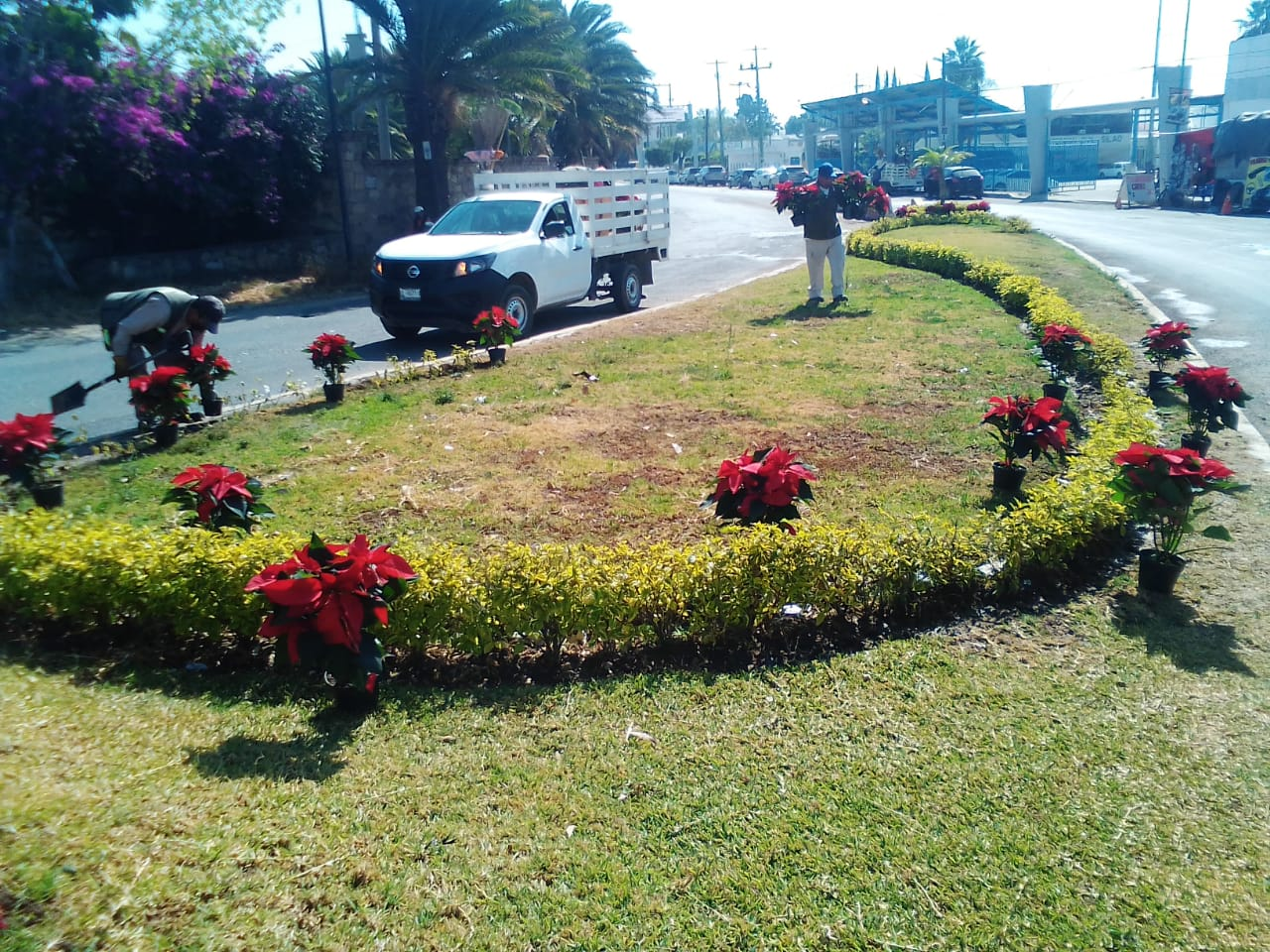 Colocan 650 plantas de Nochebuena por temporada decembrina